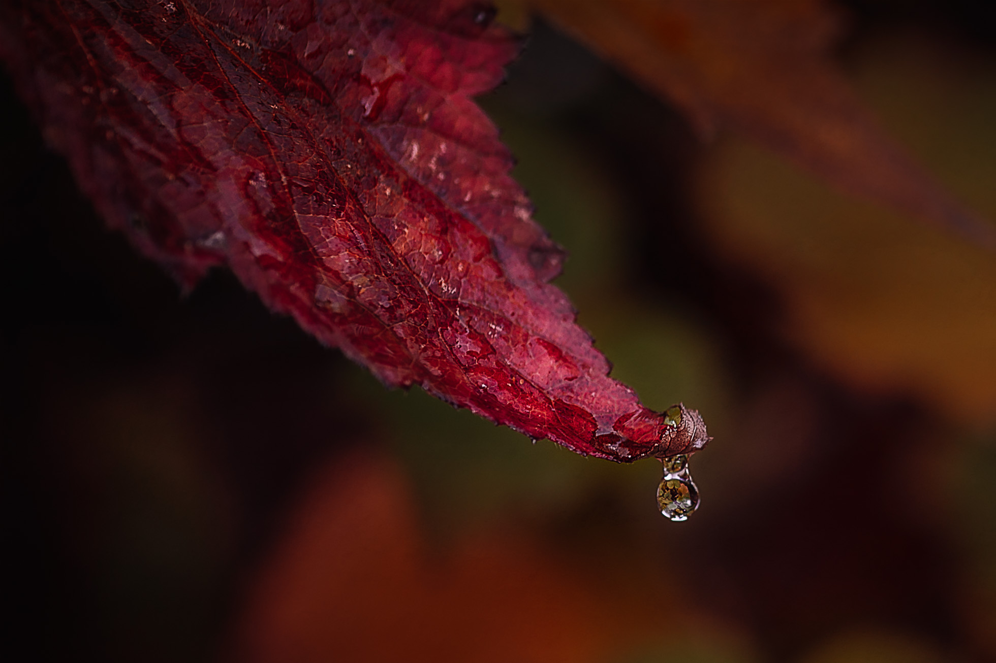A single water drops from a leaf