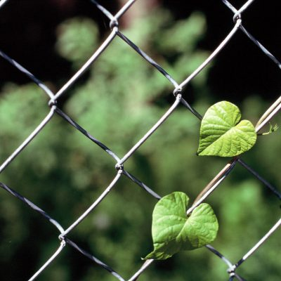 heart_shaped_leaves_on_fence_film_NikonF100_Velvia100 | heart links | {film}_click-Pro_daily_project_by Eileen Critchley