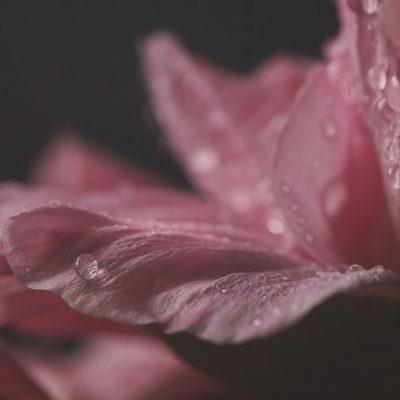 M<acro Pink Flower c- dew drop-
