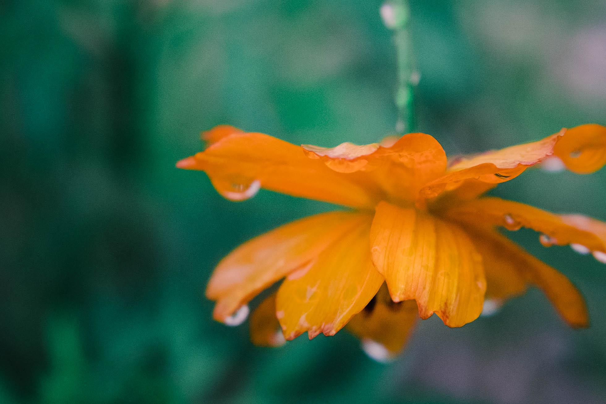 joyce kang marco photo orange cosmos flower