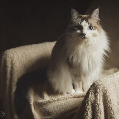 portrait of an indoor long haired cat with sidelighting taken with the Lensbaby Velvet 56 lens