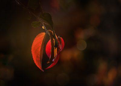 autumn fall leaf lit by setting sun