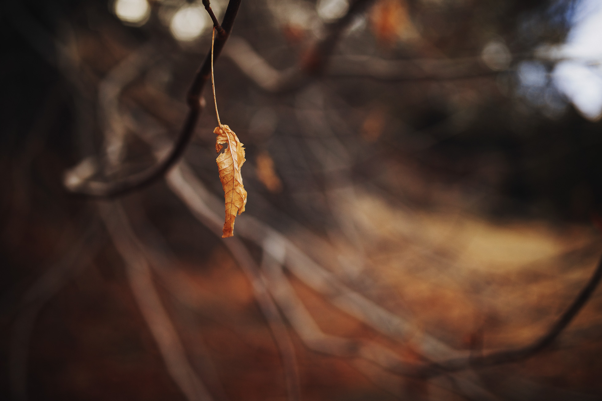 an autumn leaf in California is clinging to a tree