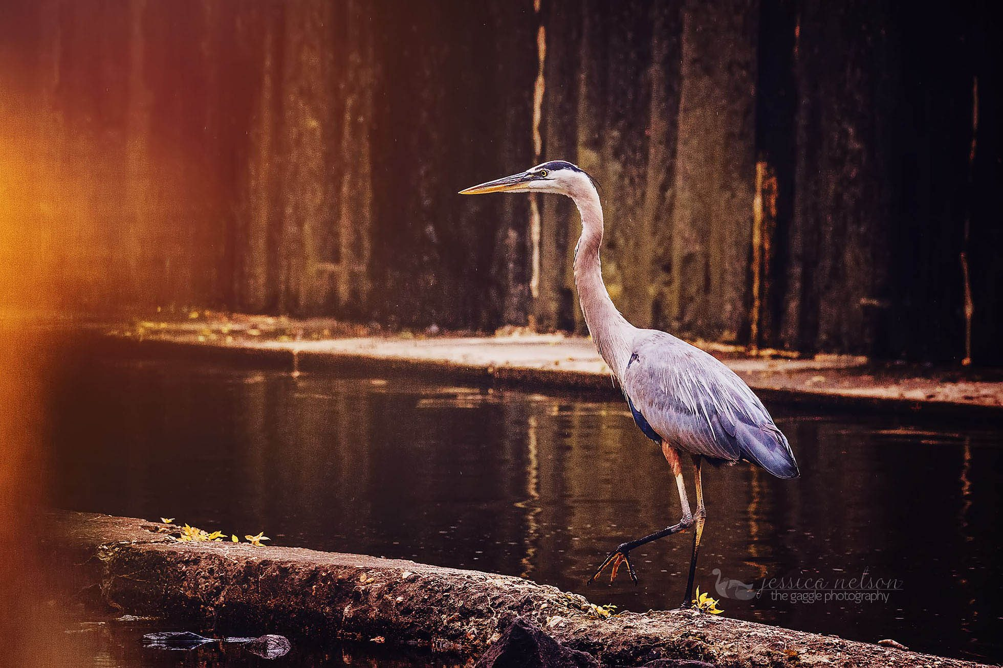 blue heron walking