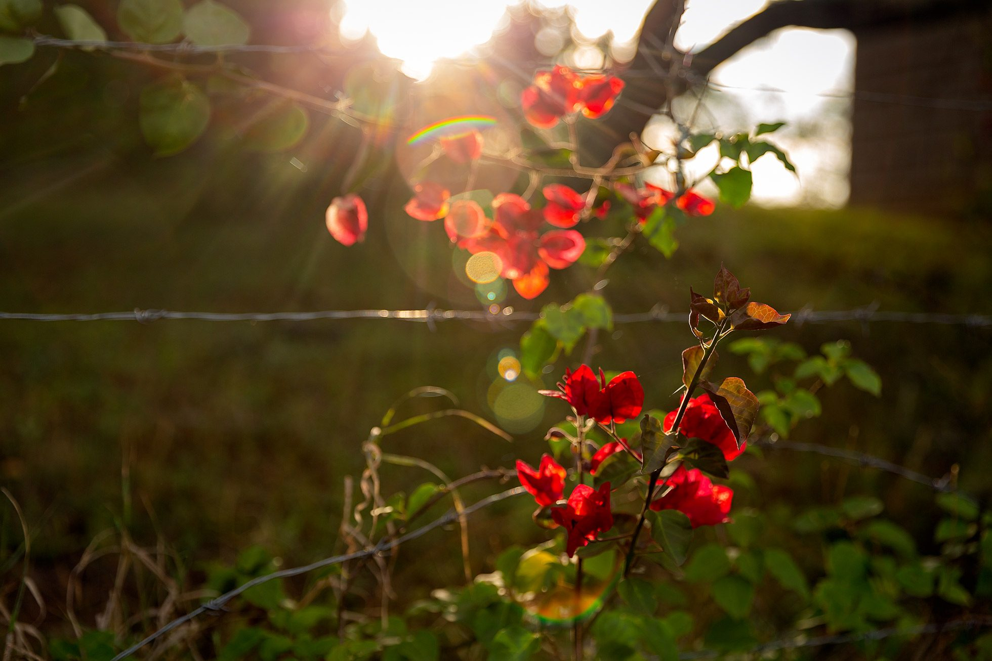 morning-light-bougainvillea