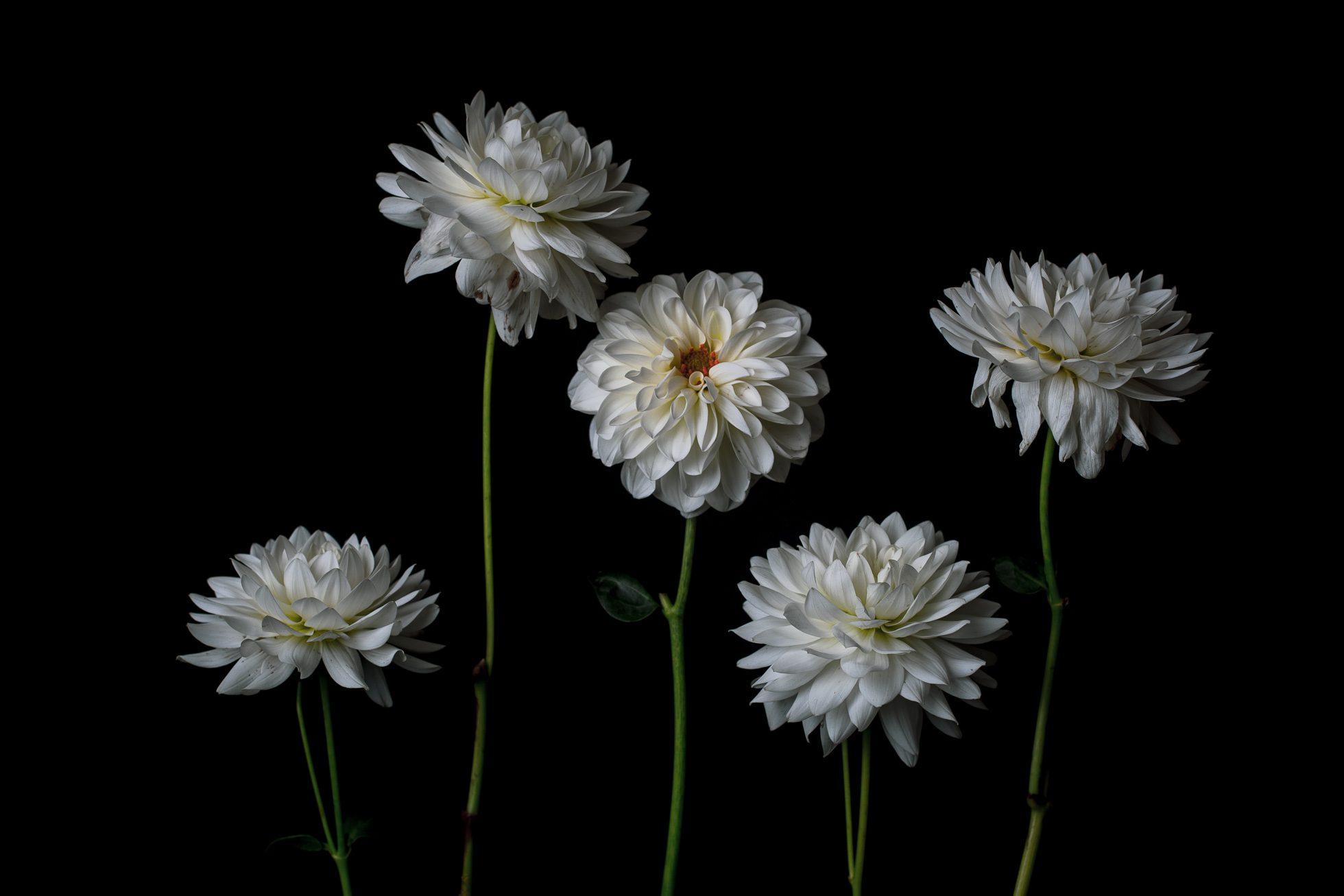 five white flowers on a dark background