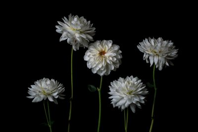 five white flowers on a dark background