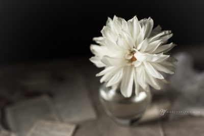 white wilted dahlia in small vase