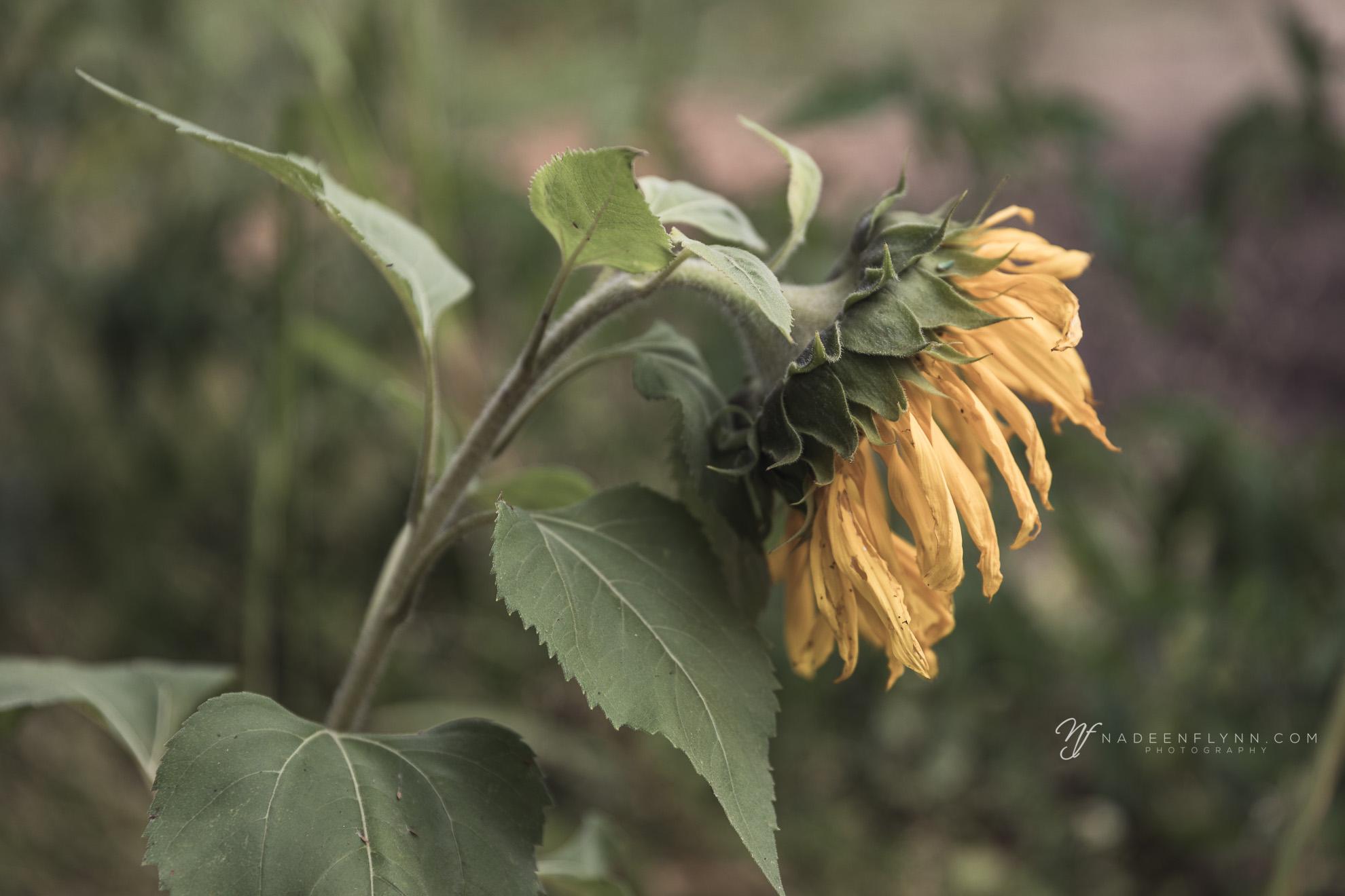 mellow yellow sunflower in garden