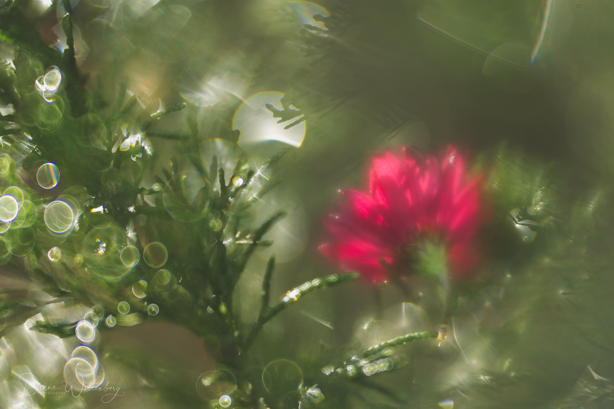 lensbaby image of a red flower in a green bush with bokeh