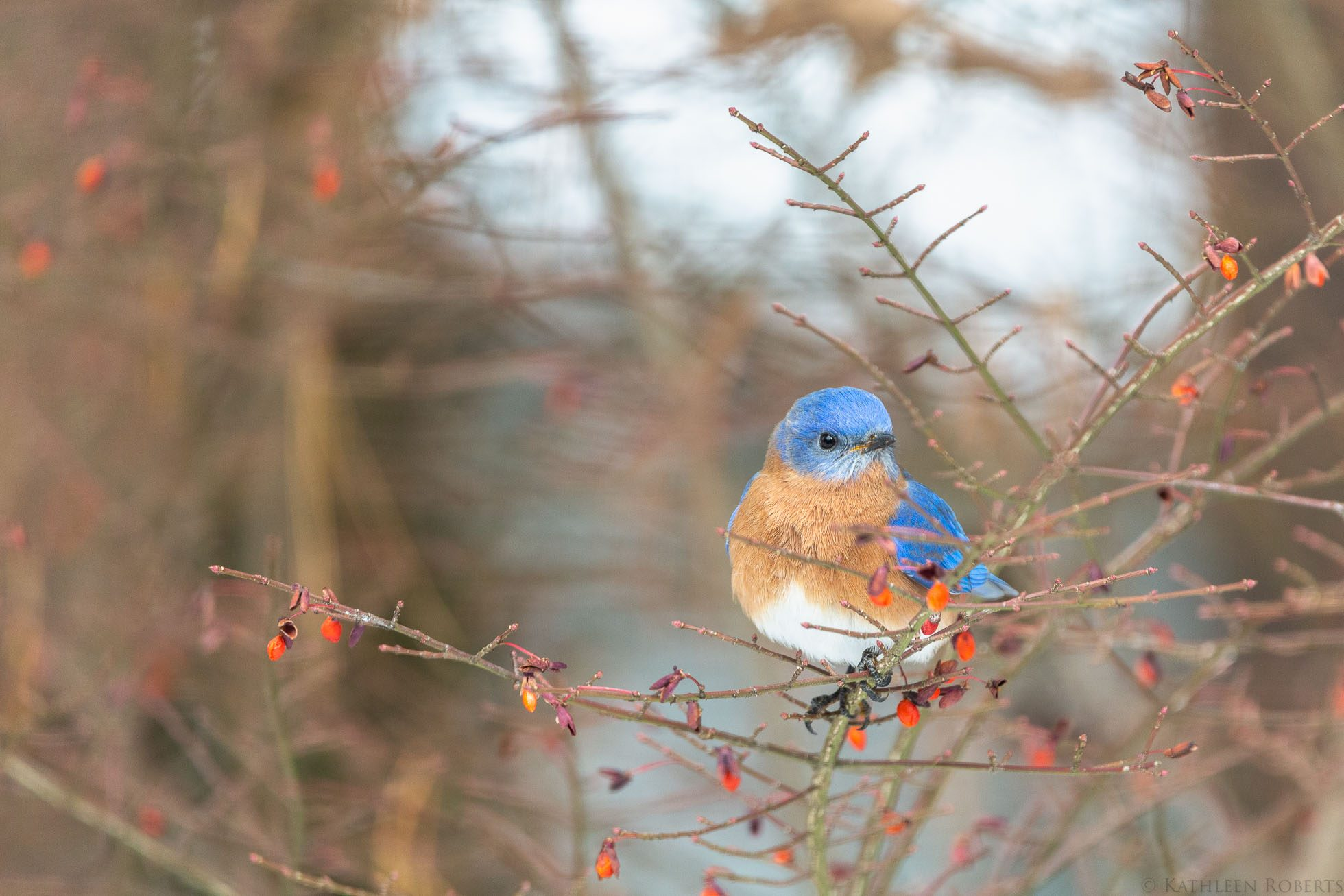 kathyroberts_blue-bird