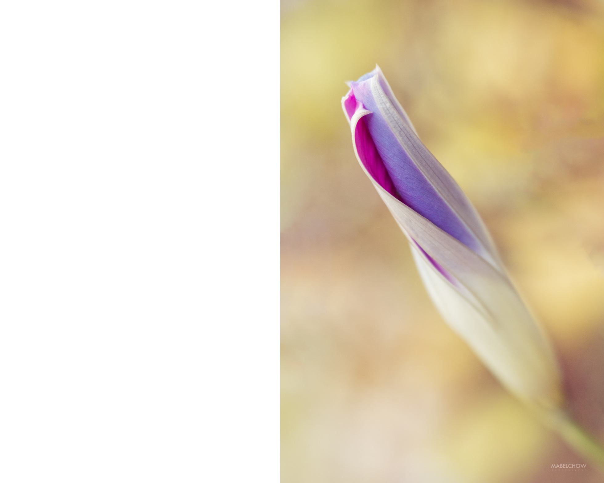 mabel_chow_morning_glory_bud