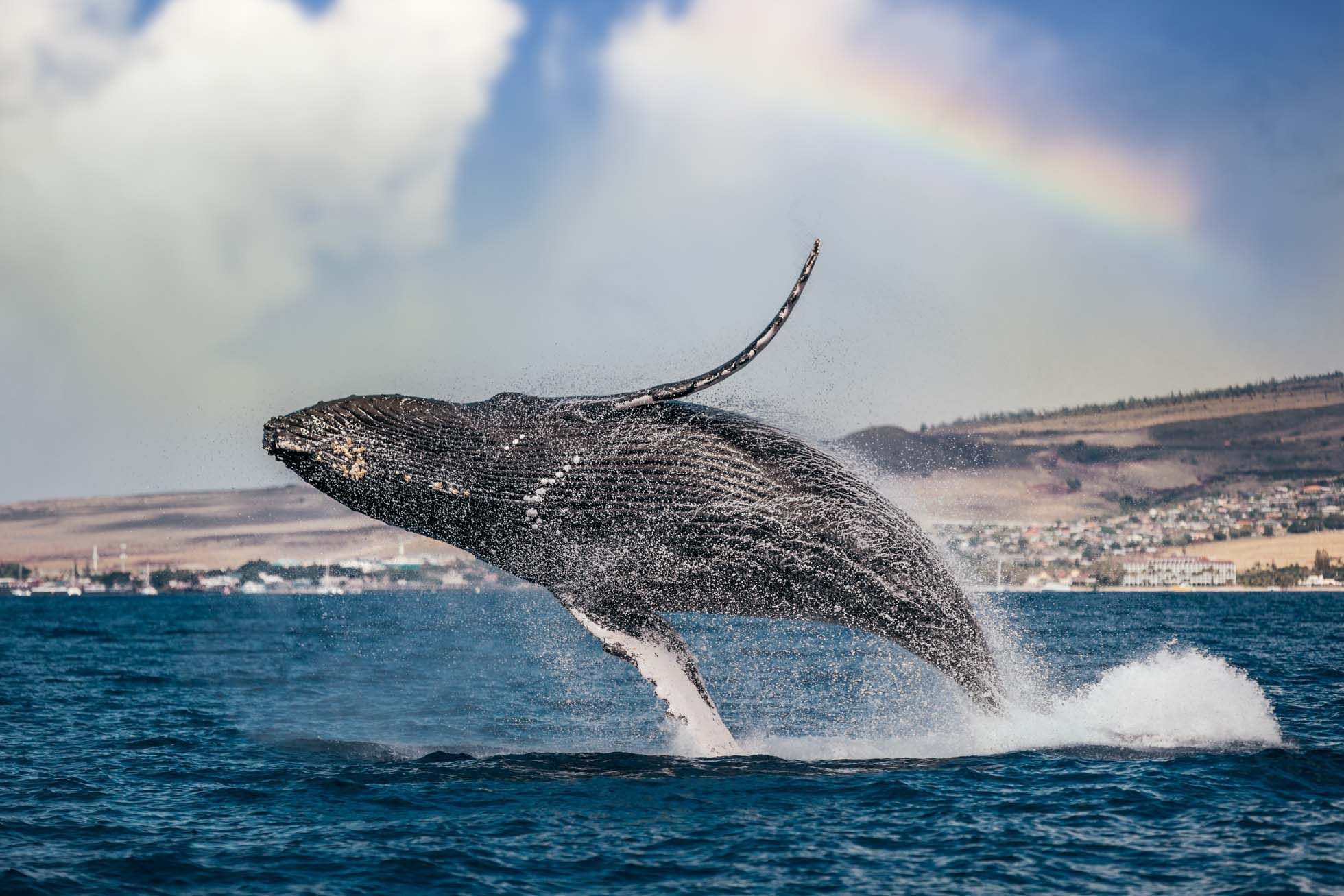 humpback-whale-breach-maui-rainbow-DP