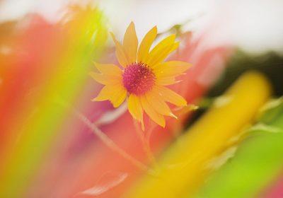 Sunflower-color-rainbow-pretty-colorful-happy-Photographer-VickiSmith