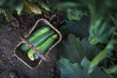 Garden-Zucchini-©Nadeen-Flynn-Photography