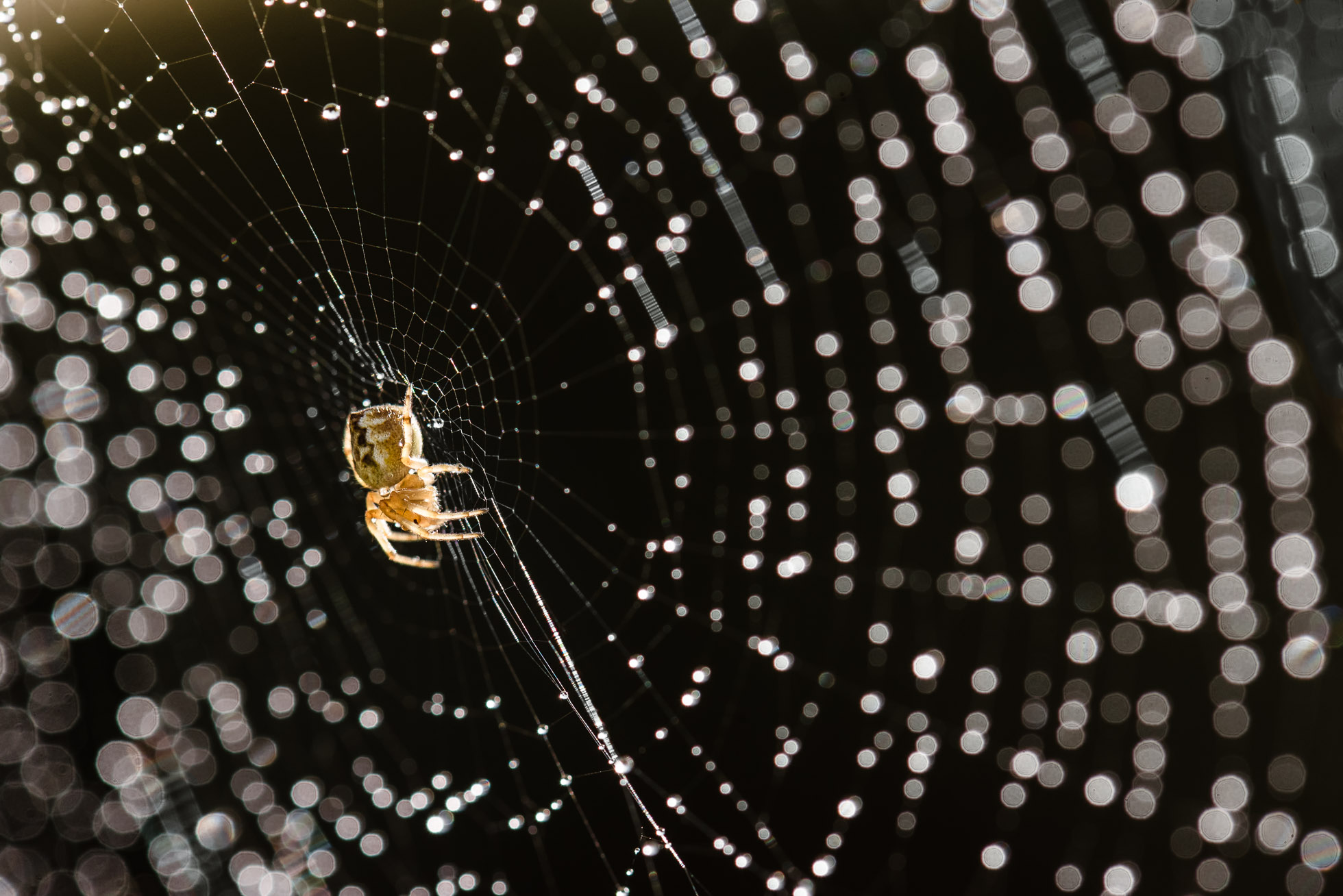 close-up-macro-photo-of-tiny-backyard-garden-spider-on-wet-web-with-beautiful-light-in-New-Zealand-during-lockdown