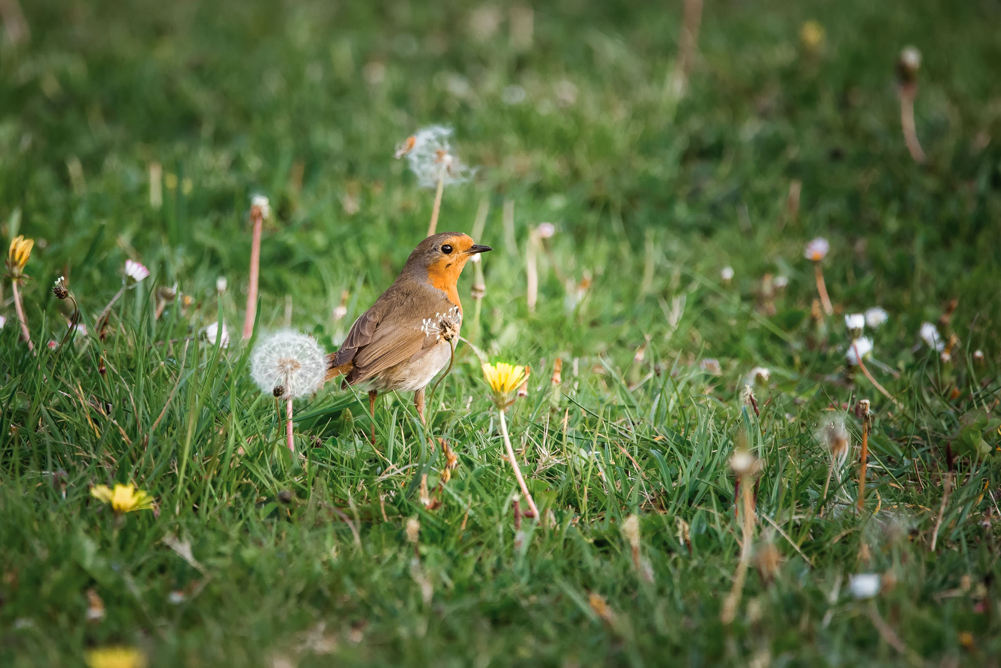 shilpaharolikarphotographwildlifebirdrobin-
