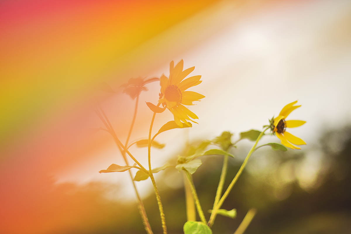Sunflower-Rainbow-Flowers-Colorful-Nature-Happy-Colors-Photographer-VickiSmith
